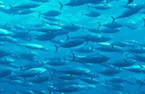 Cá ngừ đại dương được nhân giống thành công trên đất liền.
